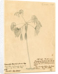 Mauritia subinermis' by Richard Spruce
