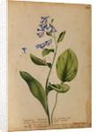 Symphytum S. Pulmonaria non maculata by Georg Dionysius Ehret
