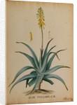 Aloe vulgaris by Georg Dionysius Ehret