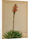 Aloe africana by Jacob van Huysum