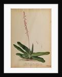 Aloe africana arborescens by Georg Dionysius Ehret
