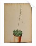 Aloe africana Arachnoidea by Jacob van Huysum