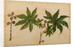 Ricinus indicus by Georg Dionysius Ehret
