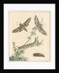 Striped hawk moth by Johann Rudolf Schellenbur