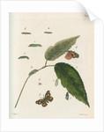 Nettle-tree butterfly by Johann Rudolf Schellenbur