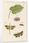 Langmaid's yellow underwing moth by Johann Rudolf Schellenbur