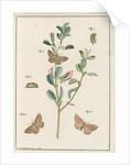 Rest harrow moth by Johann Rudolf Schellenbur