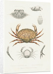 Studies of three crabs by unknown