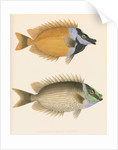 Studies of two fishes by unknown