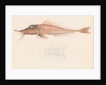 Peristedion laticeps by unknown