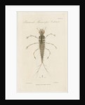 Larva of Dytiscus by William Kelsall