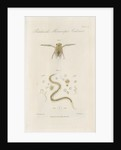 Pygmy backswimmer and 'Eel animalcule' by William Kelsall