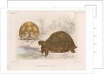 Angonoka tortoise by Louis Léchaudel