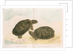African mud turtles by Louis Léchaudel