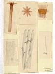 'Clavularia viridis' by Sydney John Hickson
