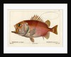 Japanese soldierfish by Smith