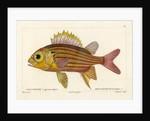 Red squirrelfish by Martin Schmeltz