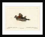 Fourhorn poacher by Vittore Pedretti