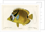 Raccoon butterflyfish by Vittore Pedretti