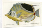 Saddle butterflyfish by Martin Schmeltz