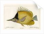 Longnose butterflyfish by Vittore Pedretti