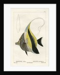 Moorish idol by Vittore Pedretti