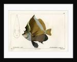 Horned bannerfish by Vittore Pedretti