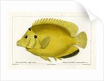 Threespot angelfish by Martin Schmeltz