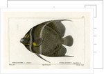 Grey angelfish by Martin Schmeltz