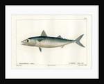Atlantic chub mackerel by Nicolas Louis Rousseau