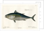 Atlantic bluefin tuna by François Jacques Dequevauviller