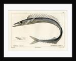 Snake mackerel by François