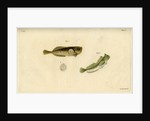 Montagu's seasnail and Montagu's blenny by Edward Mitchell
