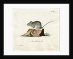 Greenland mouse by Johann Friedrich Schröter