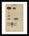 Life cycle of a dragonfly by Jan Swammerdam