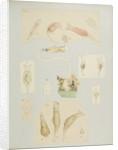 Philodína rotifers by Charles Thomas Hudson