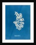 Sargassum vulgare by Anna Atkins