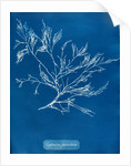 Cystoseira faeniculacea by Anna Atkins