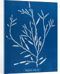Sea oak by Anna Atkins