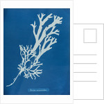 Horned wrack by Anna Atkins