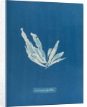 Laminaria phyllitis by Anna Atkins