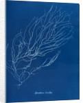 Sporochnus rhizodes by Anna Atkins
