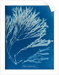 Halyseris polypodioides by Anna Atkins