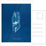 Punctaria latifolia by Anna Atkins