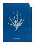 Punctaria tenuissima by Anna Atkins