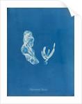 Asperococcus turneri by Anna Atkins
