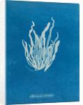 Asperococcus echinatus by Anna Atkins