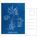 Cladostephus verticillatus by Anna Atkins