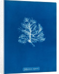 Sphacelaria scoparia by Anna Atkins