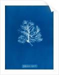 Sphacelaria scoparia by Anna Atkins